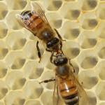 Las abejas también pueden «manipular» conceptos abstractos