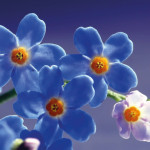 Flores-azules